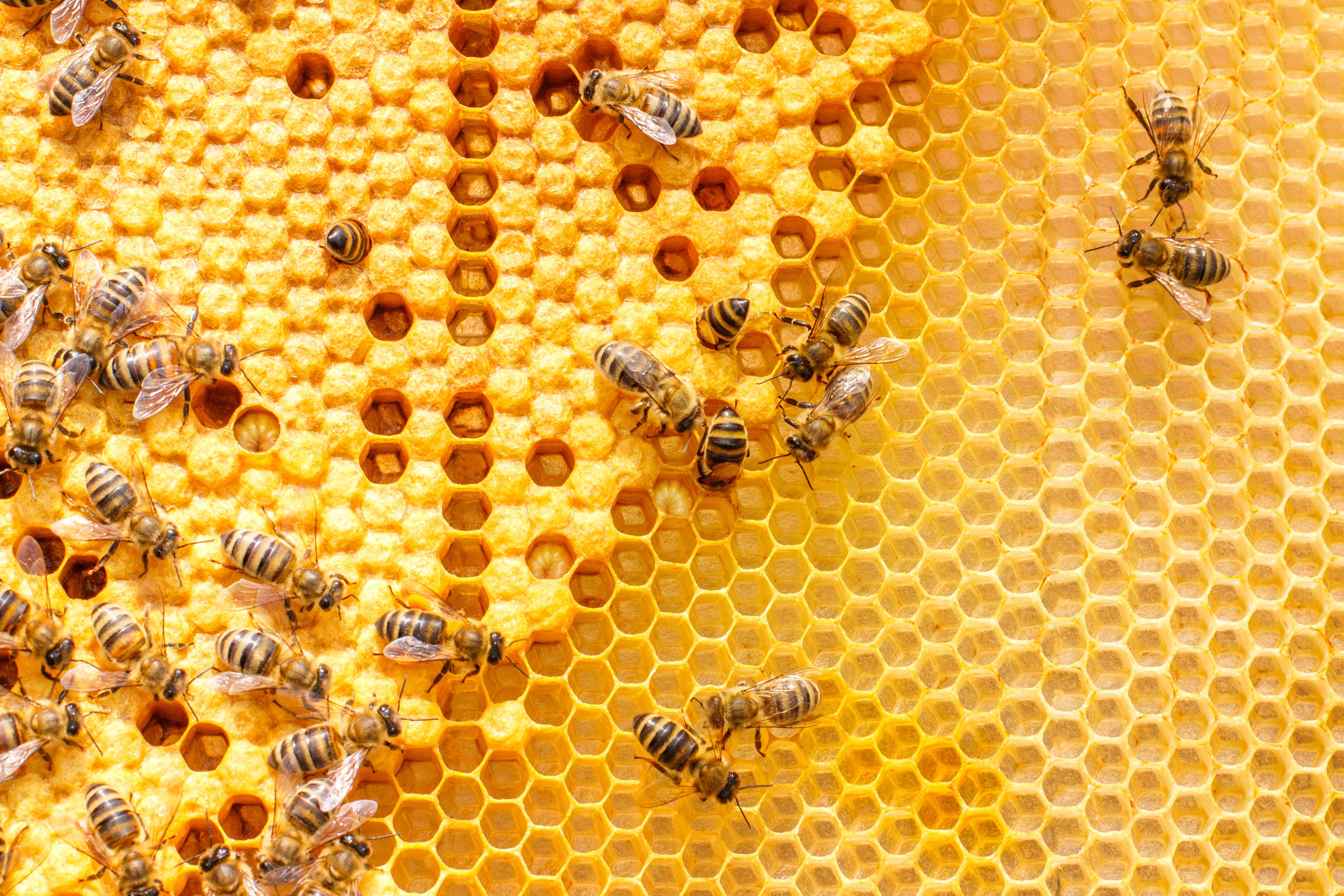 PHC0721_bees-honeycomb.jpg