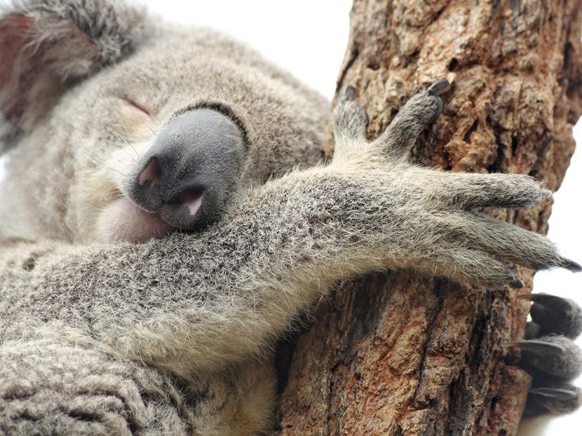 phc10_koala